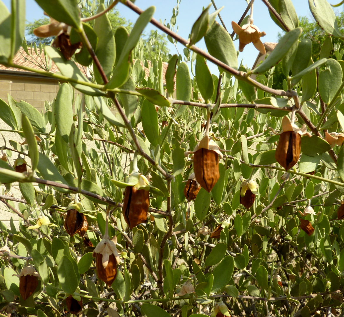Jojoba fruits