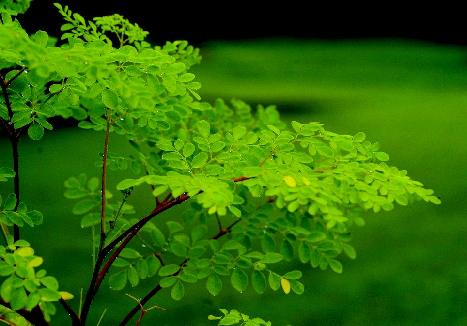 How is High Blood Pressure and Moringa connected?