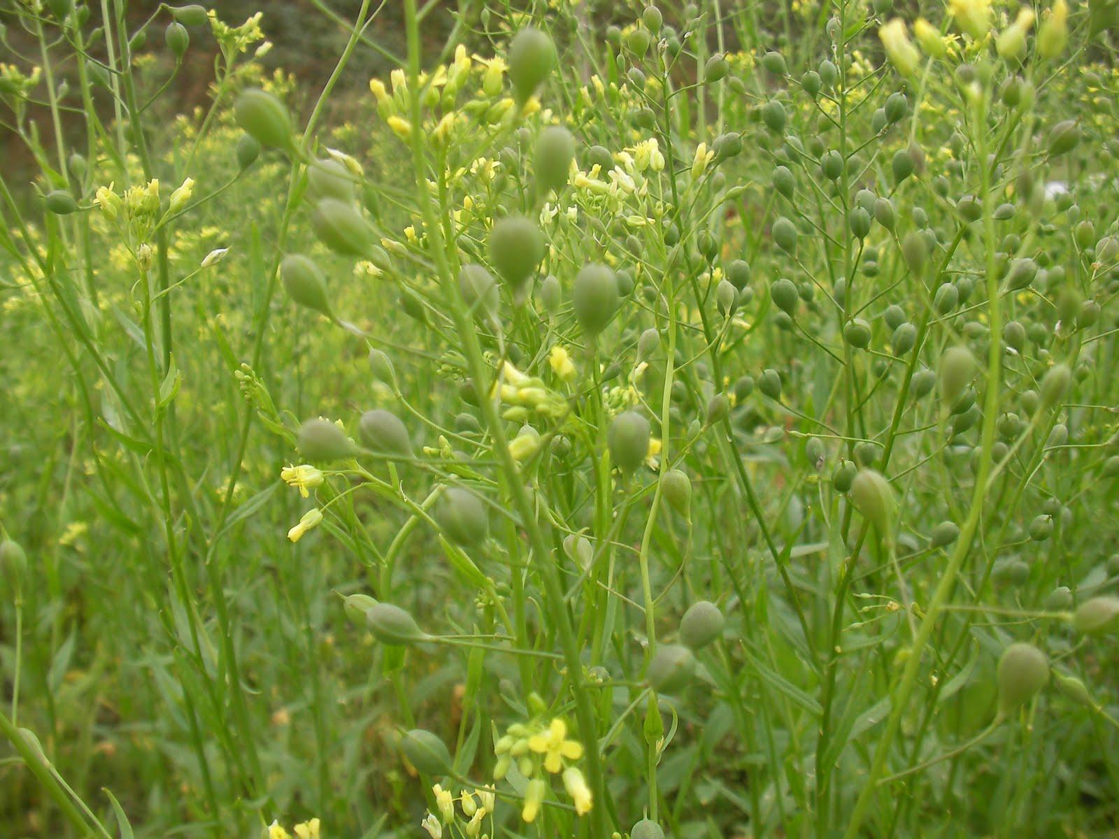 Controlul dăunătorilor, cu flori care sintetizează feromoni