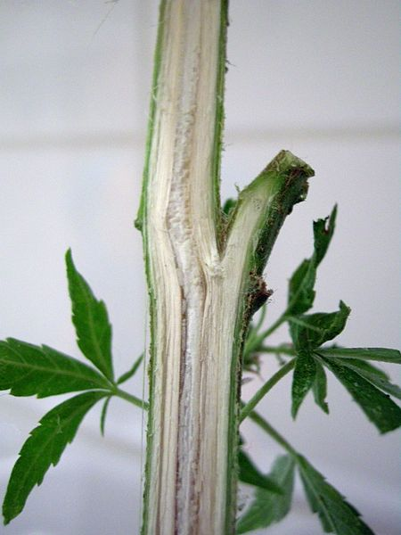Cannabis Sativa Cross-Section Stalk Anatomy