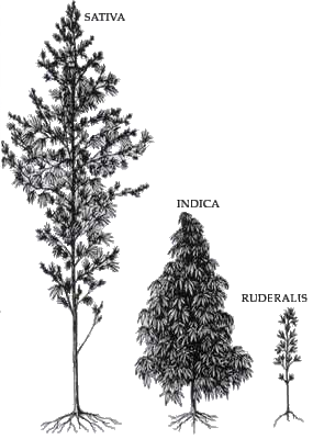 Cannabis Species Comparison; Industrial Use
