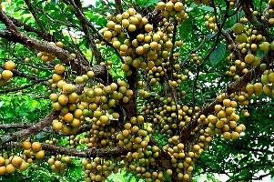 Burmese Grapes Longtok