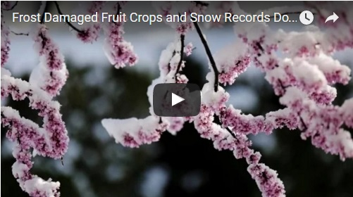 frost damaged fruit crops and snow records doubled across USA in April 2016