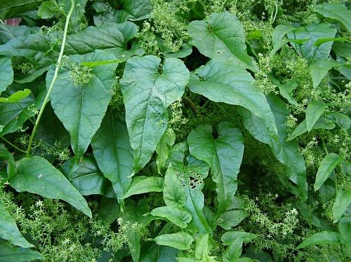 cold tolerant spinach vine